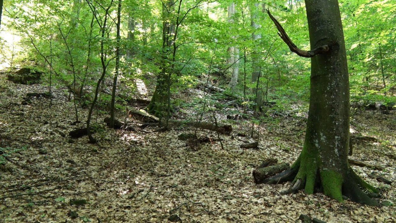 Загатський ліс багатий на цінні породи деревини (ВІДЕО)
