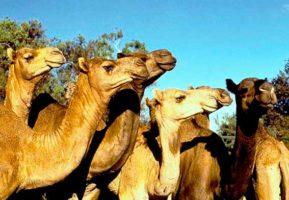 У Нижній Сілезії фермер з успіхом розводить верблюдів