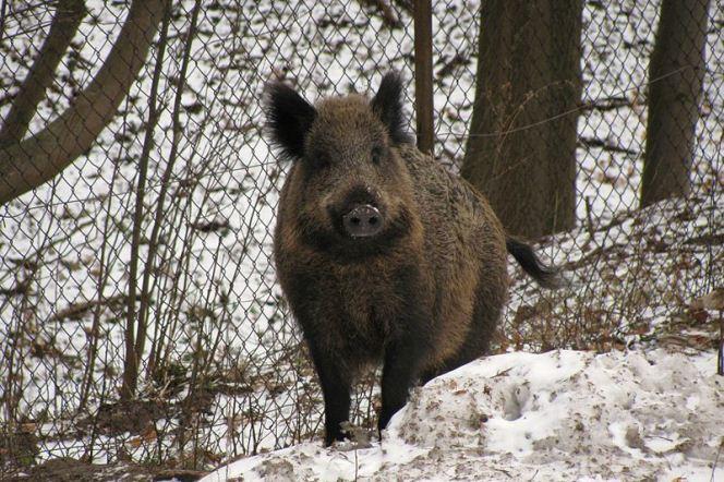 Єврокомісія підтримує план відстрілу диких кабанів і хвалить польську владу