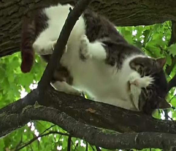 Дивина! В Польщі вже 6 років на дереві живе кіт, і спускатися вниз не збирається (відео)