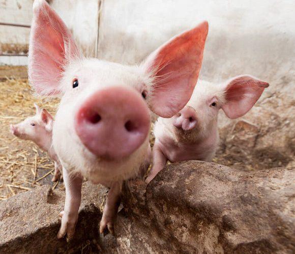 У Нижній Сілезії свині з'їли свого господаря