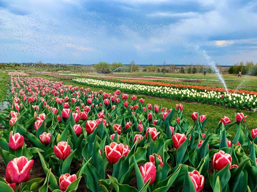 У парку під Києвом зацвіли 1 мільйон тюльпанів: фото